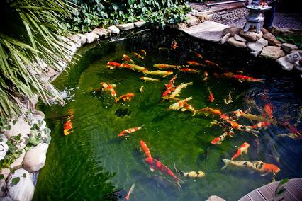 Pirana aquarium come progettare e realizzare un laghetto for Vendita koi online