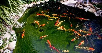 Pirana aquarium come progettare e realizzare un laghetto for Carpe koi vendita online