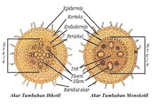 perbedaan akar dikotil dan monokotil secara anatomi,perbedaan akar dikotil dan monokotil berdasarkan jaringan penyusunnya,perbedaan akar monokotil dan dikotil secara morfologi dan anatomi,
