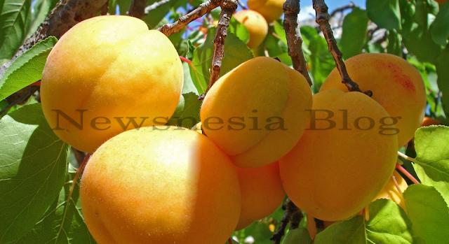 Buah aprikot adalah buah yang berasal dari benua Asia