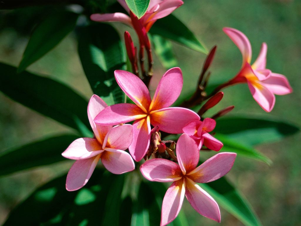 red plumeria wallpaper - photo #22