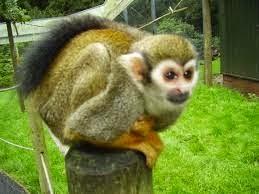 Monyet tupai