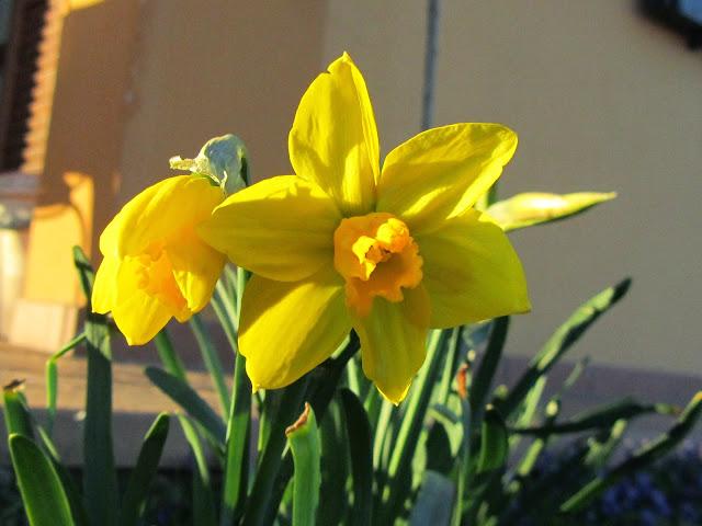 Primo piano fiore Narciso
