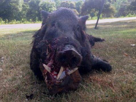 Boar Attack! (GRAPHIC WARNING) | The Hunting Game