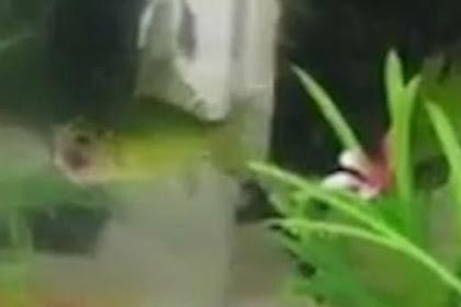 Kepala Hilang, Ikan Mas 'Zombie' Masih Hidup Selama Tiga Hari