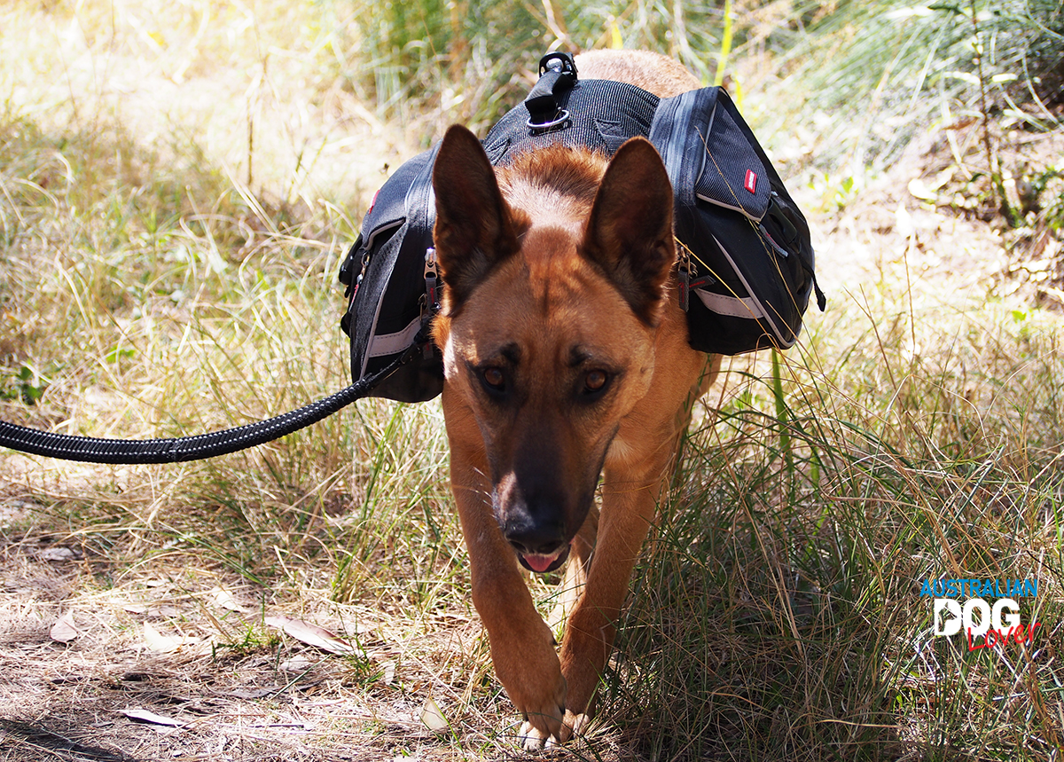 Aramis walks towards camera wearing EzyDog Summit Dog Backpack