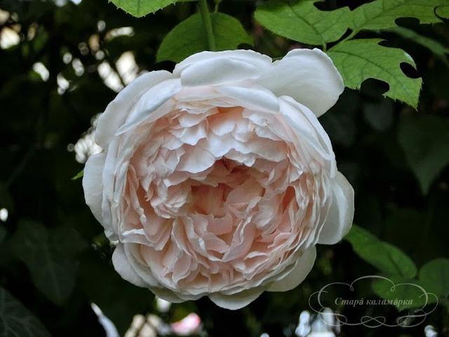Роза St. Swithun,розы, розарии, сад и розы