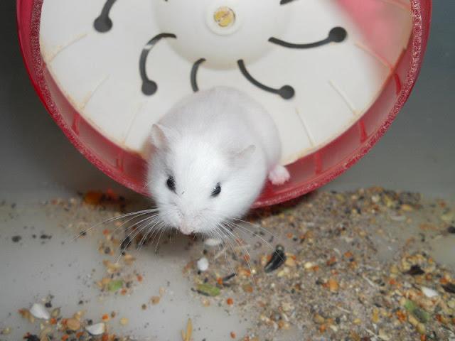 Bán Hamster robo giá rẻ đẹp mê ly