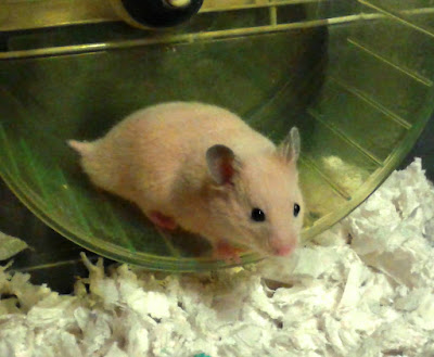 Black eyed cream Syrian hamster youngster