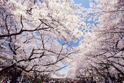 Jalan-jalan melihat sakura di Ueno Park