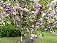 深北緑地公園 ケンロクエンキクザクラ(兼六園菊桜)