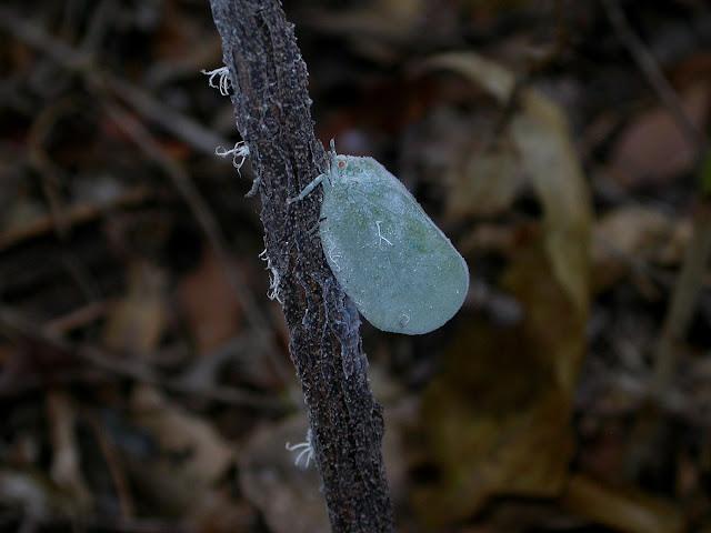le diptère Phronia rosea
