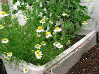 カモミールジャーマンの花
