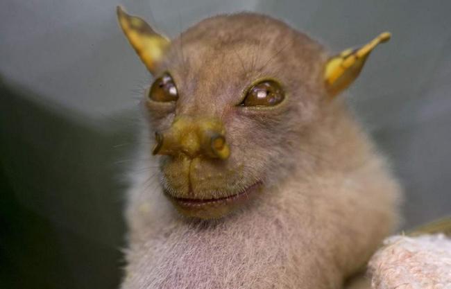 Νυχτερίδα φρούτων Nendo
