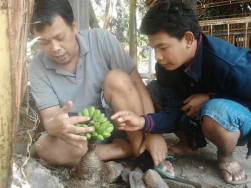 Warga Desa Kori Kecamatan Sawoo Kabupaten Ponorogo Jatim mendadak digemparkan dengan kemunculan pohon pisang ajaib