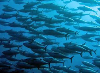 n memakai data riset oseanografi dan meteorologi Kabar Terbaru- PEMILIHAN FISHING GOUND DAN TINGKAH LAKU IKANNYA