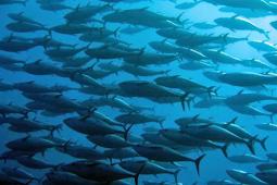 PEMILIHAN FISHING GOUND DAN TINGKAH LAKU IKANNYA