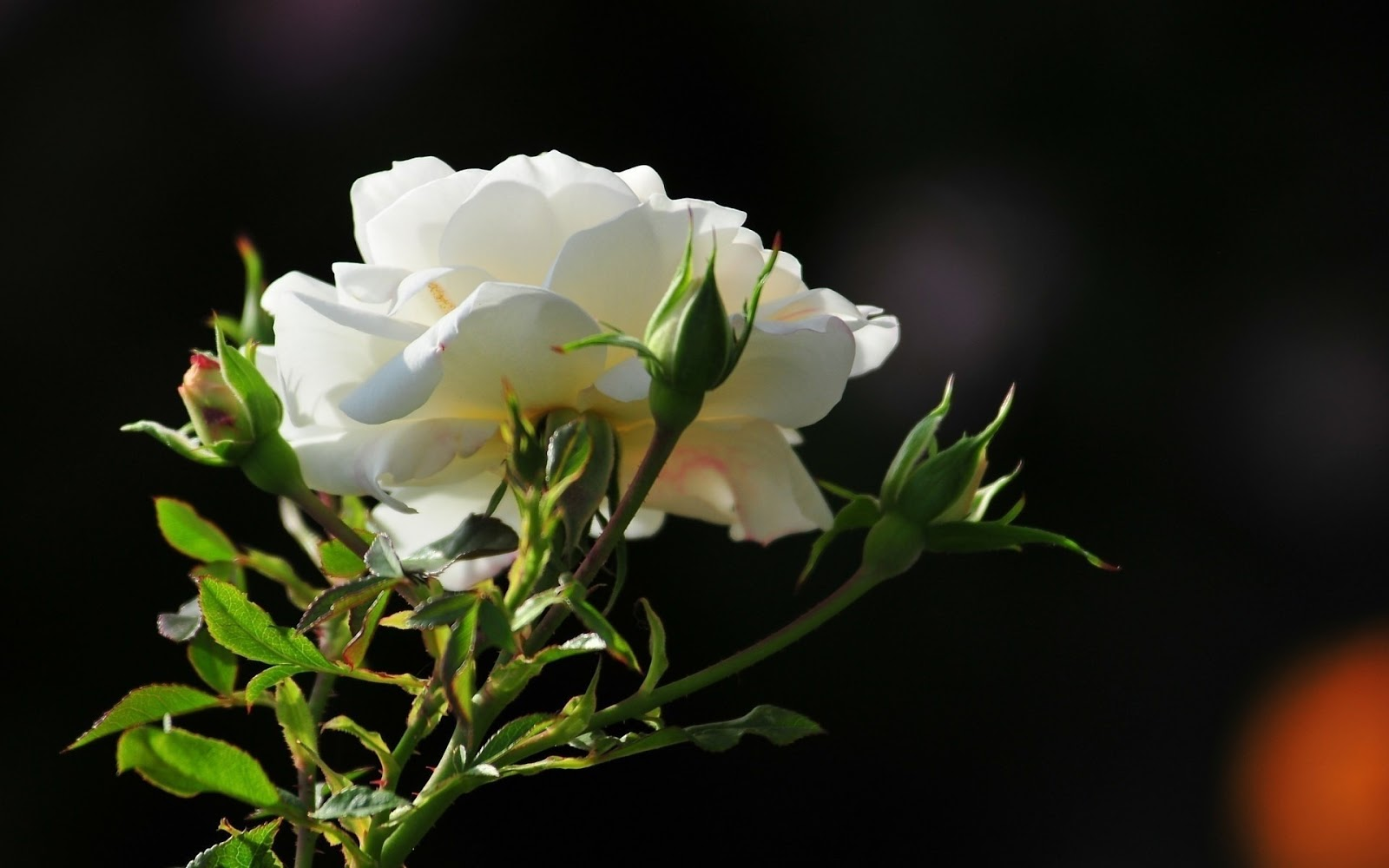 THE MAGNIFICENT WORLD OF ROSES  |Beautiful White Rose Flowers