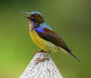 Suara burung kolibri kelapa mp3