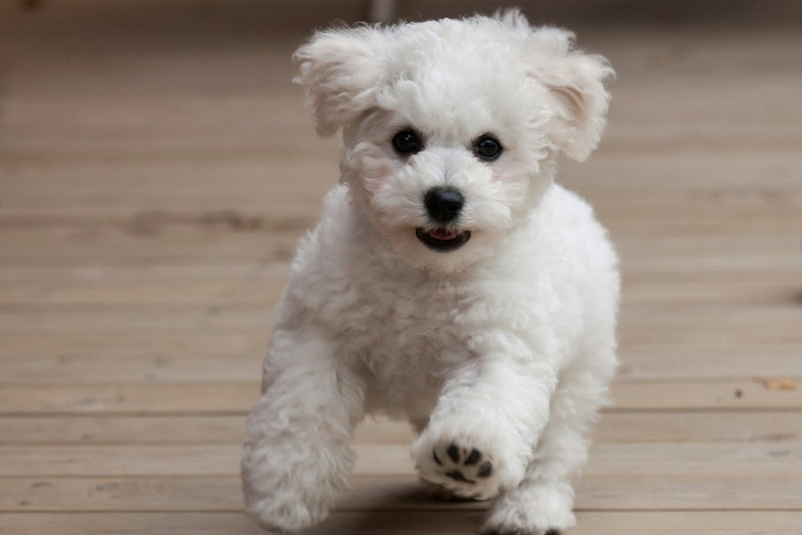 Fluffily Cute Bichon Frise Dog Pictures