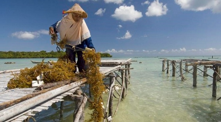 Indonesia Seaweed Cultivation and Types of Seaweed Produced