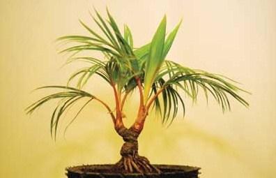 Cara Membuat Bonsai Pohon Kelapa: Mini & Bercabang: BEGINI ...