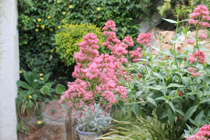 Valeriana roja, agave, cintas