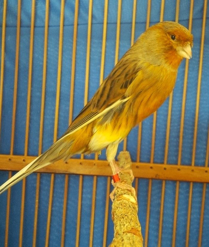 Warna kuning yang menyelimuti tubuh dan sedikit warna putih. Perbedaan Kenari Yorkshire, Lokal, Dan Loper - Kicau Burung