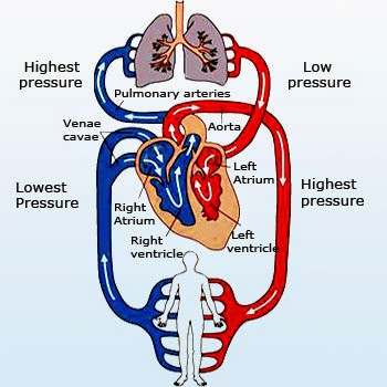 Watch more like Circulatory System For 3rd Grade