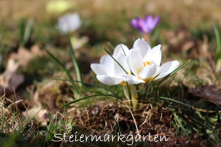 Krokusse-Steiermarkgarten
