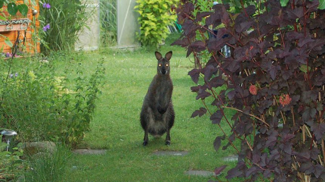 Snapshot of an escaped kangaroo, standing in a backyard garden in Lauenhagen, Northern Germany. The Zoo Houdinis and other stories. marchmatron.com