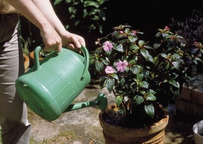 Watering a pot plant with a green watering can