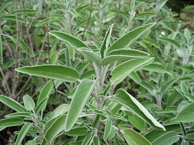 El cultivo de la Salvia