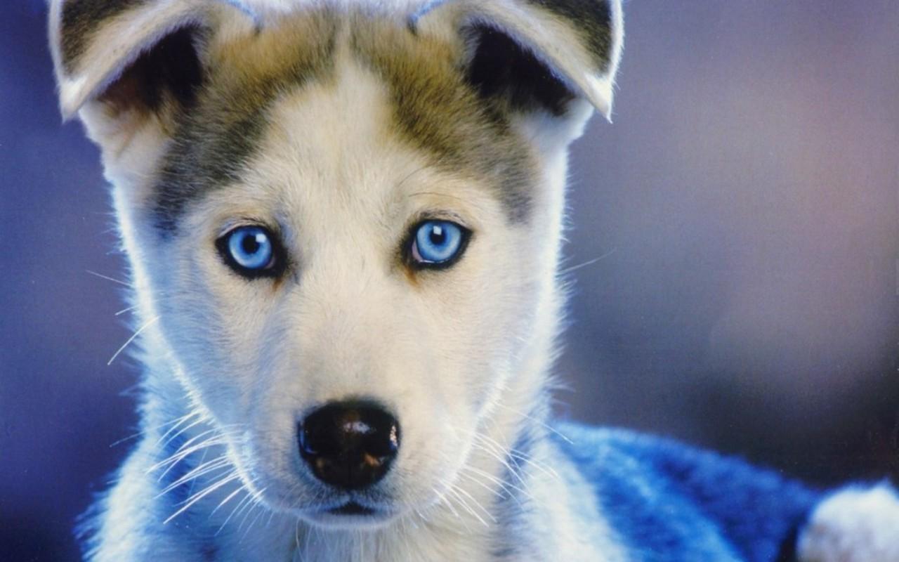 Kamus Anjing Siberian Husky