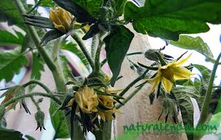 flores de las tomateras
