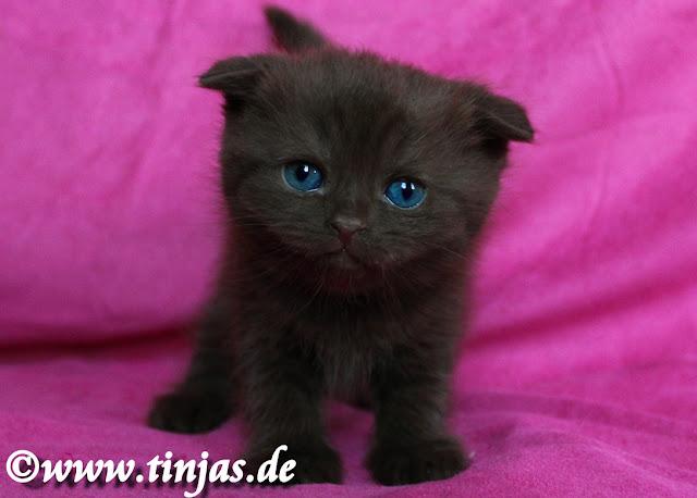 Tinjas Katzenzucht : Scottish Fold Katzenbaby in chocolate von prämierten Eltern 2017 05 20 7