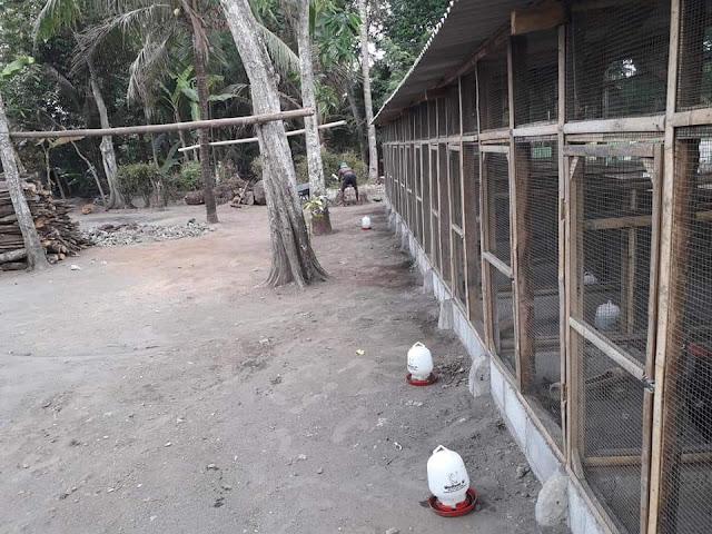 Kandang ternak ayam bangkok