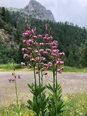 [Liliaceae] Lilium martagon - Martagon Lily, Turk's Cap Lily (Giglio a turbante, Giglio martagone)