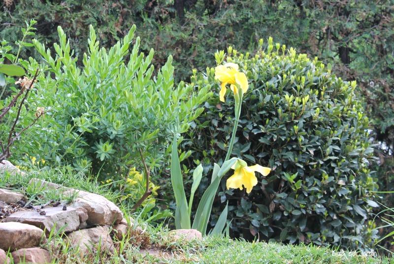 Varas florales de Iris amarillos