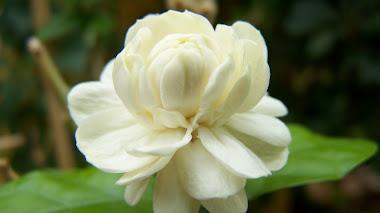 Jasminum sambac 'Duque de Toscana'