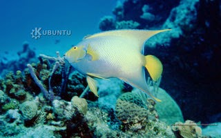 http://diversidadyunpocodetodo.blogspot.com.es/2014/04/fondos-pantalla-wallpapers-kubuntu-naturaleza-pez-angel-arrecife-coral.html