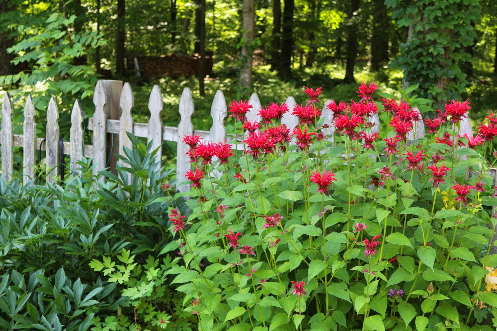 The Bee Balm Flower, Living From Glory To Glory Blog