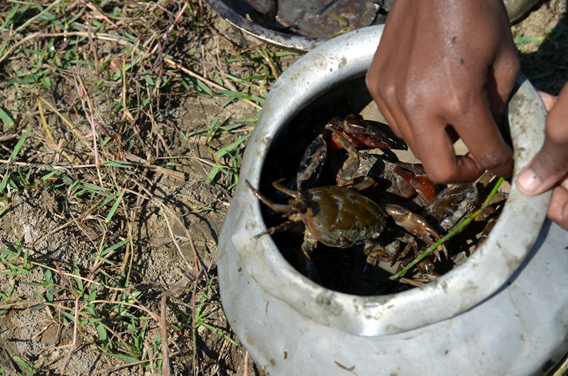 Crabs picked by Sharmishtha Mondol in Sunderbans