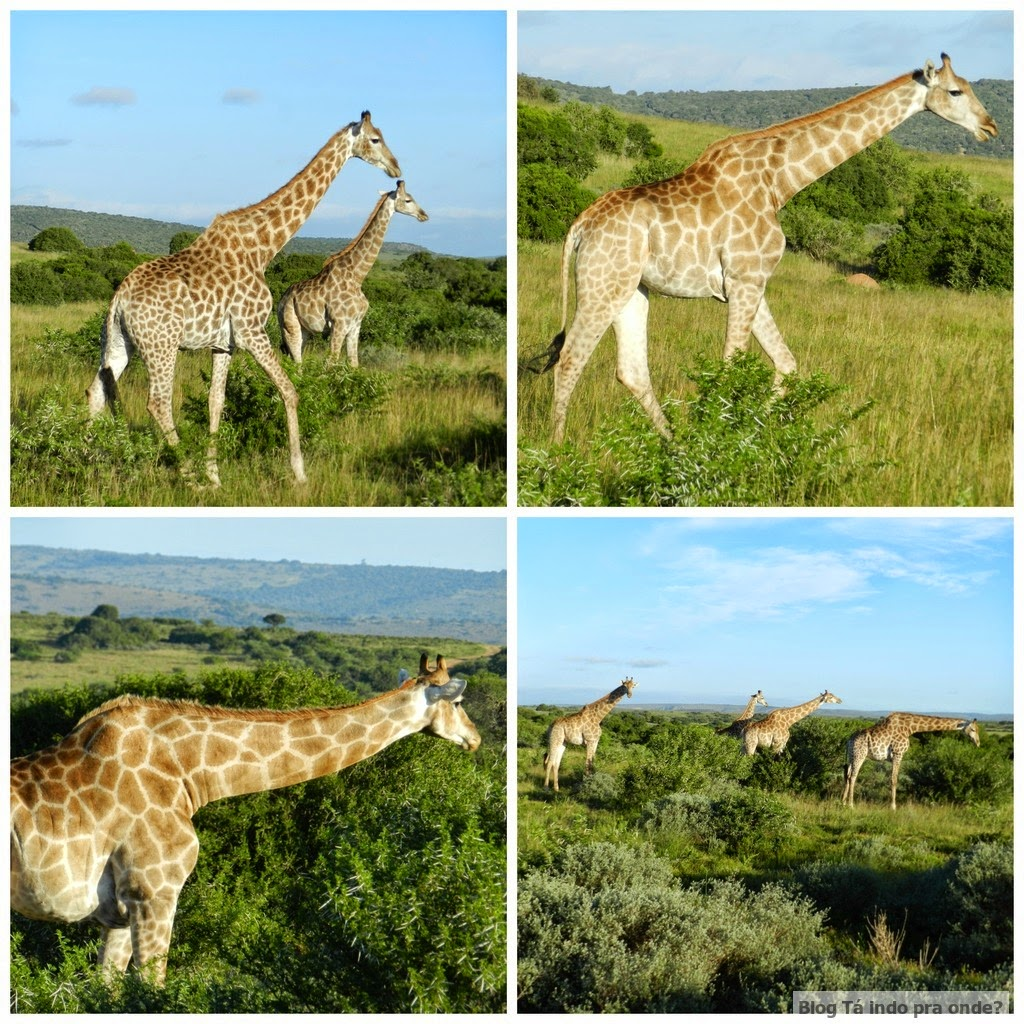 girafas na África do Sul
