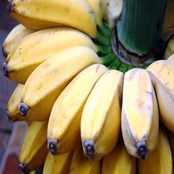 manfaat-pisang-kepok