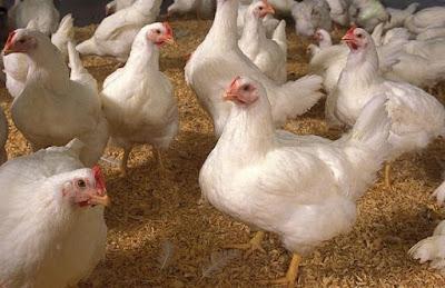 ayam broiler jenis hybro