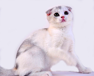 Perawatan Kucing Scottish Fold : Ciri Karakter, Harga dan Penyakitnya