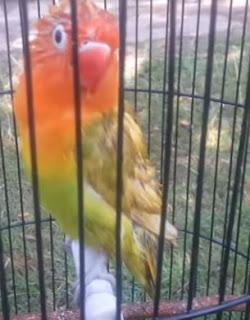 Burung Lovebird Anda Nakal - Gunakan Terapi Pijat ini Terbukti Tidak Nakal Lagi di Gantangan