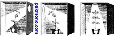 Pengertian gerak fototropisme yaitu gerak pada tumbuhan yang dipengaruhi oleh rangsangan  Contoh gerak fototropisme