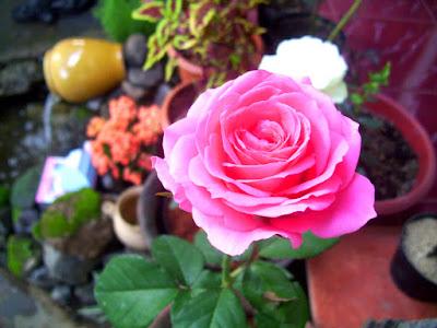 Mawar Pink Kawanimut